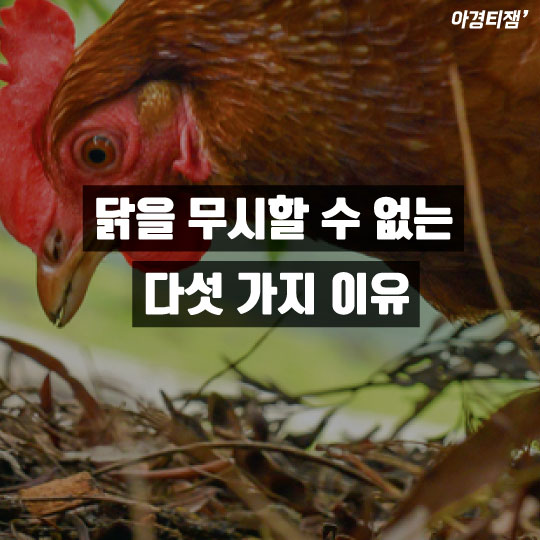 """[카드뉴스]이젠 나의 해, 닭이 말했다 """"닭치고 들어, 난 그런 닭이 아냐"""""""