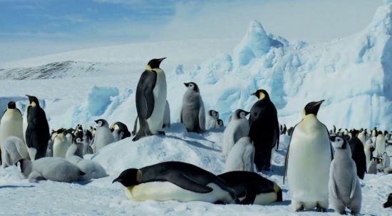 남극의 터줏대감 황제 펭귄[사진출처=NOAA]