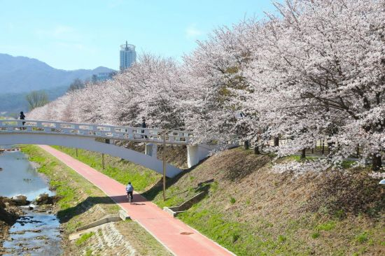 양재천 벚꽃