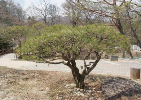 南北, '평화·번영' 염원하며 1953년생 소나무 심어(상보)
