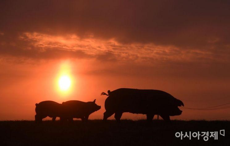 [포토] 60년 만에 돌아온 기해년 '황금돼지의 해'