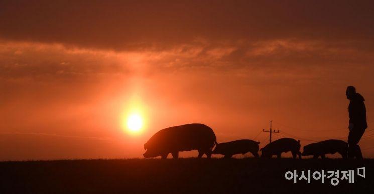 [포토] 기해년 햇살 받으며 산책하는 돼지 가족