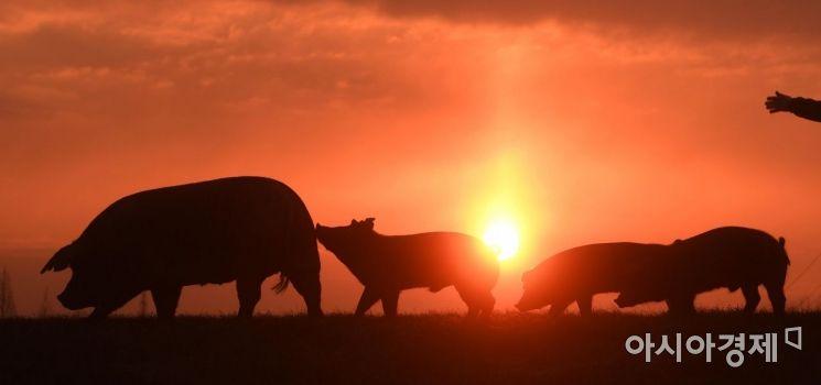 [포토] 기해년 새해 맞이하는 돼지 가족