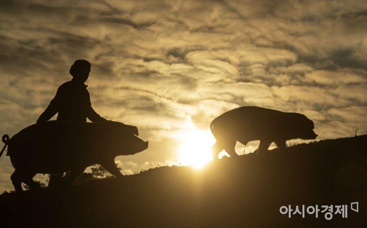 우리나라 유일의 돼지 농장이 있다. 돼지들을 자유롭게 방목해 돼지들이 스트레스 없이 키우는 농장. 충남 청양에 송조농원. 황금돼지해를 몇일 앞둔 지난해 어느 매섭게 추운날 최재용(63) 농장주가 돼지들과 함께 아침 햇살을 기해년 풍요로움을 기원하고 있다./충남 청양=윤동주 기자 doso7@