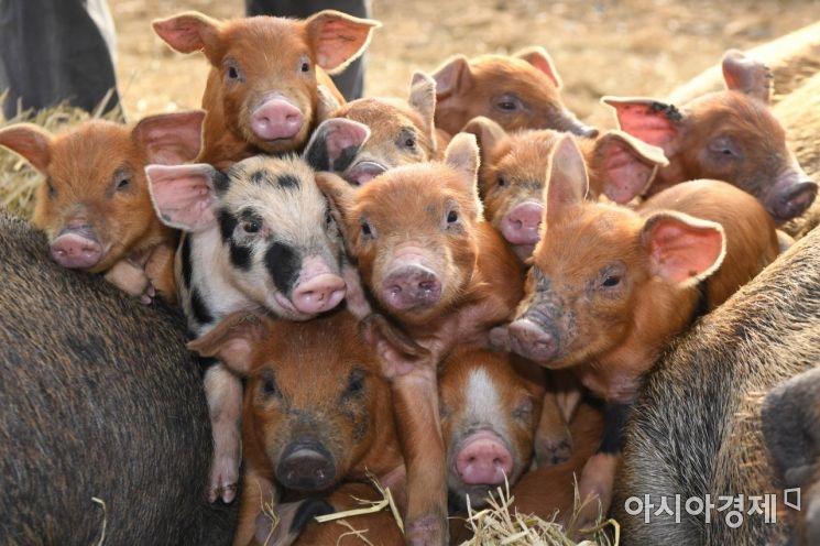 송조농원의 다양의 모양의 새끼돼지들이 기해년 새해를 맞이하고 있다./충남 청양=윤동주 기자 doso7@
