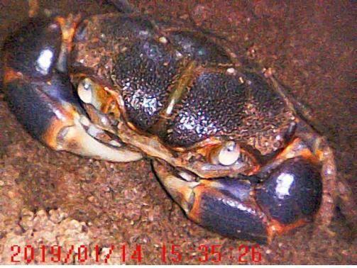 멸종위기 야생생물 2급 갯게 동면 모습 최초 확인/사진=국립공원공단