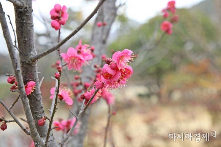 [포토]'봄이 온다'…홍매화 활짝