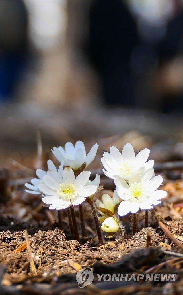 설악산 신흥사에 피어난 꽃이 봄소식을 가져왔다. / 사진 = 연합뉴스