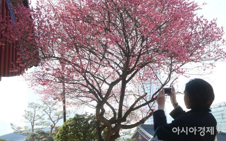 [포토] 한국의 봄을 담는 관광객
