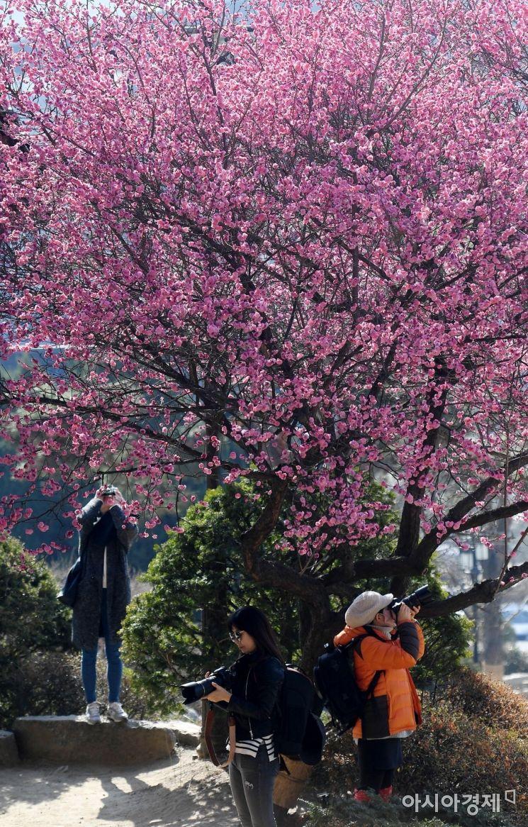 [포토] 봄 소식 알리는 홍매화