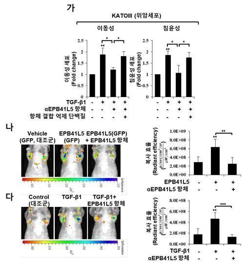 EPB41L5 항체를 처리해 위암 전이를 저해한 효과