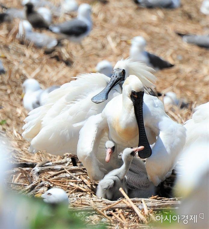 남동유수지 인공섬의 저어새 [사진= 인천시]