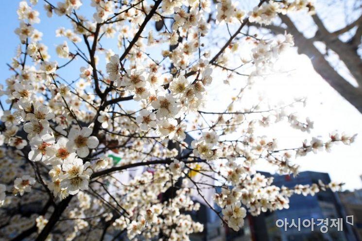 [포토]서울에도 매화 활짝