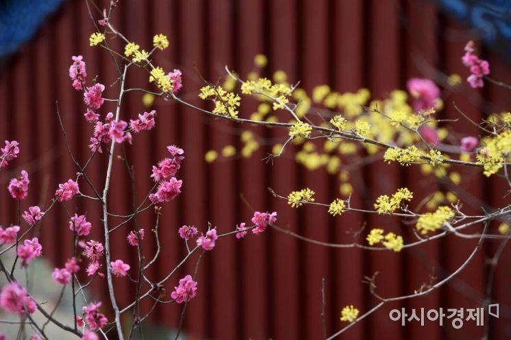 [포토]분홍빛 홍매화와 노란빛 산수유
