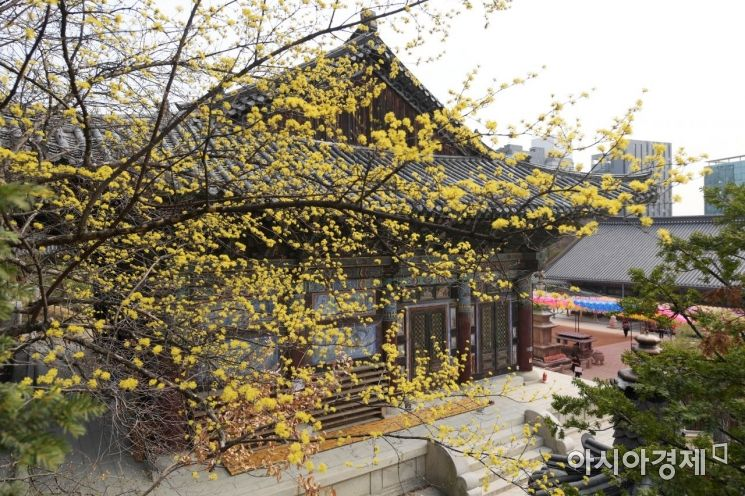 [포토]노란 산수유 꽃 가득한 봉은사