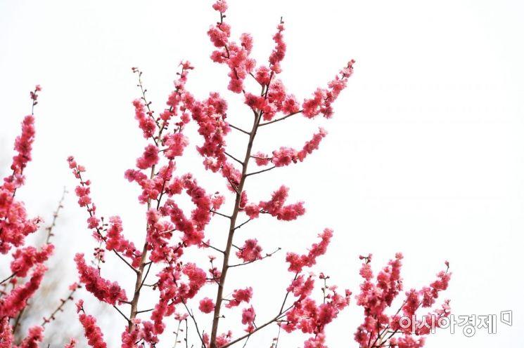 [포토]하늘 수놓은 진분홍빛 홍매화