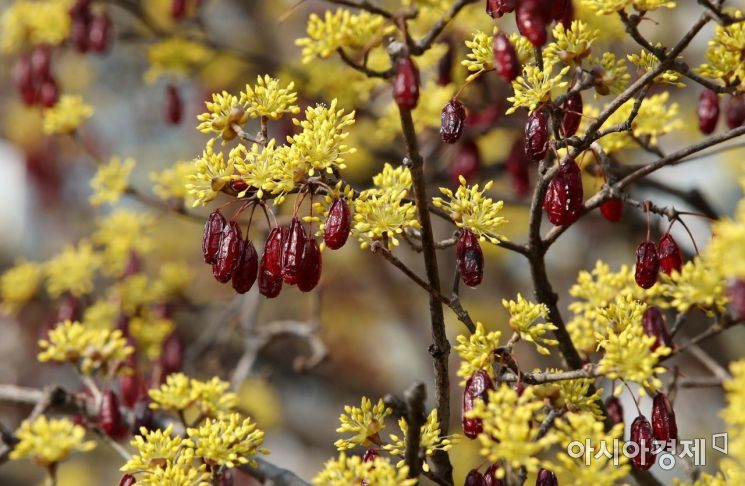 [포토] 주렁주렁 매달린 붉은 산수유 열매