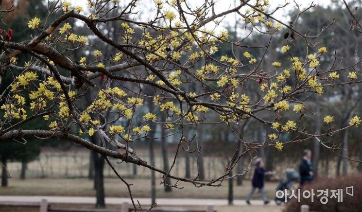 [포토] 봄 소식 전하는 산수유꽃