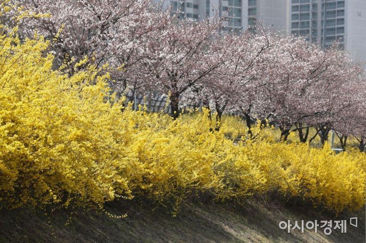 식목일인 5일 서울 잠실 한강공원에 개나리와 벚꽃이 피어 있다. /문호남 기자 munonam@
