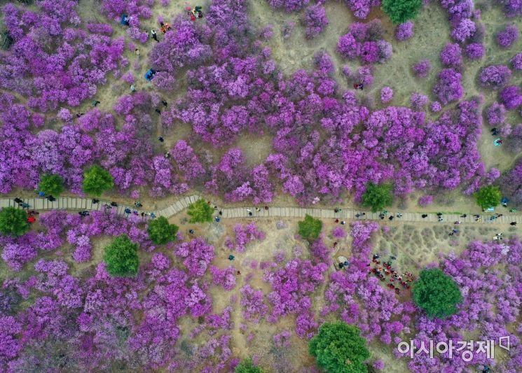 [포토]부천 원미산은 지금, 온통 진분홍빛