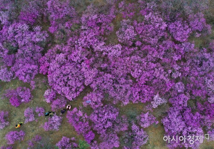 [포토]포근한 주말, 진분홍 진달래와 함께