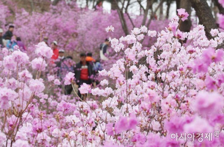 [포토]분홍빛 물결, 원미산 진달래 축제