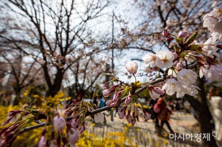 [포토] 수줍게 고개 내민 벚꽃