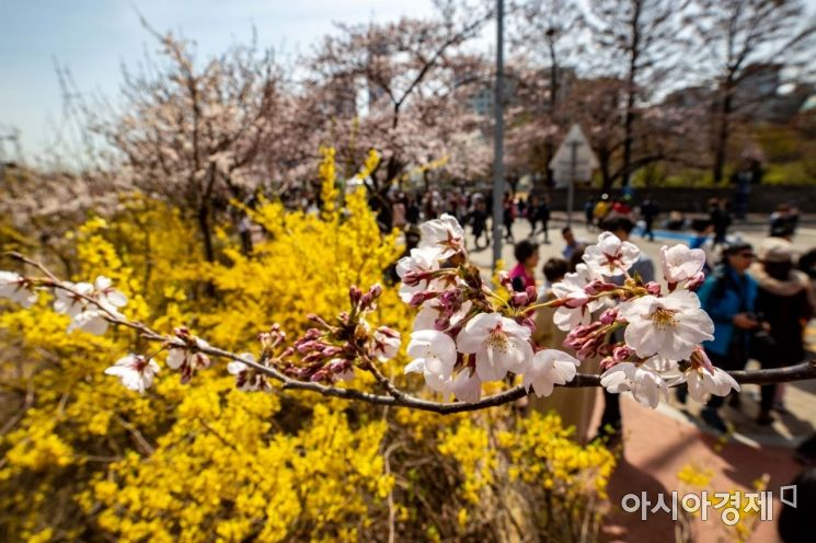 [포토] 개나리와 어우러진 벚꽃