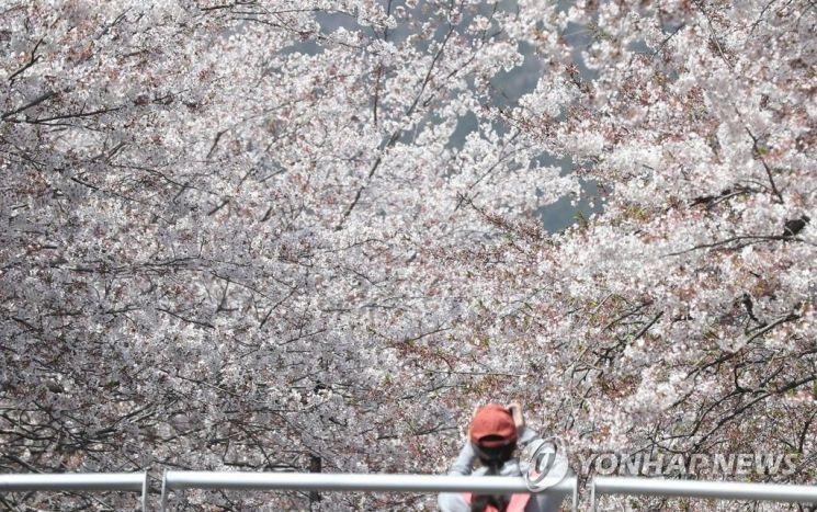 경남 창원시 진해구 여좌천 일대에 핀 벚꽃 / 사진 = 연합뉴스