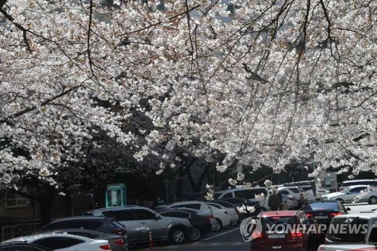 경남 창원시의 한 아파트 단지에 연분홍 벚꽃이 활짝 폈다. / 사진 = 연합뉴스