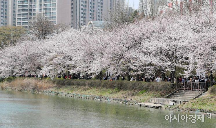 서울 송파구 석촌호수 둘레길에 벚꽃이 팝콘처럼 팡팡 피어 있다. /문호남 기자 munonam@