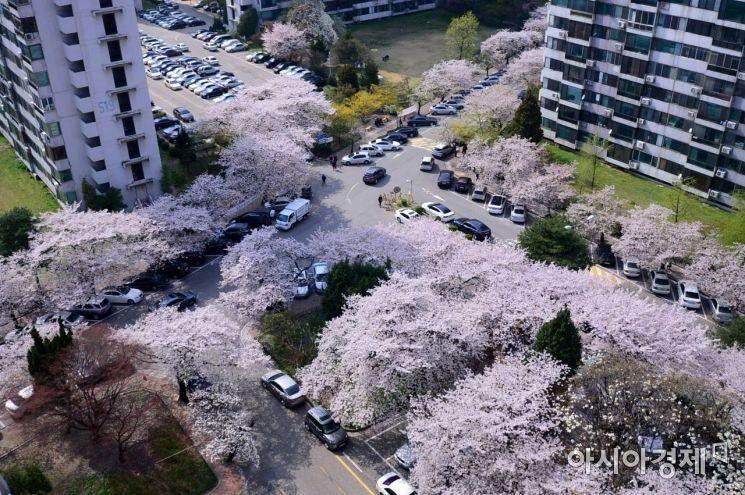 서울 송파구 한 아파트 단지에 벚꽃이 만개해 있다. /문호남 기자 munonam@