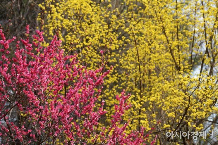 분홍빛 홍매화와 노란빛 산수유가 서울 강남구 봉은사에 활짝 피어 있다. /문호남 기자 munonam@