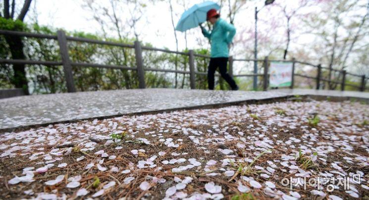 서울 남산공원 산책로를 화려하게 물들였던 벚꽃이 봄비에 떨어져 있다. 화사한 봄이 지나가고 있다. 꽃이 절정을 이룰 것으로 예상되는 이번 주말, 어디든 좋으니 부지런히 걸어보는 건 어떨까. /문호남 기자 munonam@