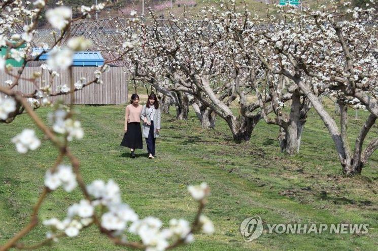 충북 영동 과일나라 테마공원의 하얀 배꽃길을 시민들이 걷고 있다. / 사진 = 연합뉴스