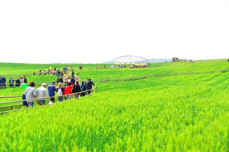 고창 청보리밭축제 개막…내달 12일까지