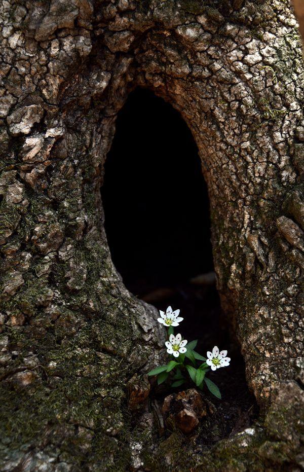 반짝 반짝 빛나는 밤하늘의 별처럼 죽령옛길 소나무에 둥지를 튼 개별꽃이 수줍은 인사로 길손을 맞고 있다.