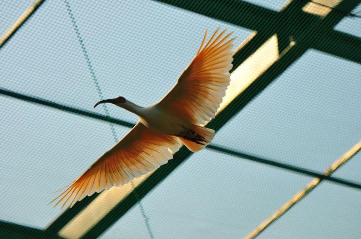 자취 감췄던 따오기, 40년 만에 야생에서 날갯짓
