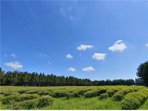 시즌글라스 녹차 페스티벌에는 100만평의 드넓은 녹차밭을 트래킹할 수 있다. (출처=시즌글라스코리아)