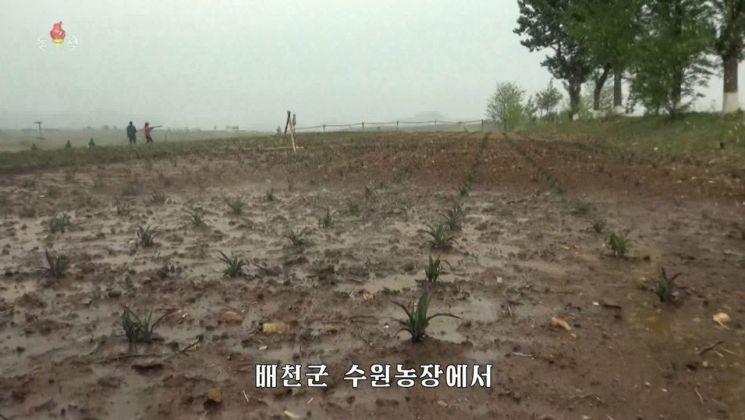 북한 조선중앙TV가 15일 최근 지속되는 가물(가뭄) 현상으로 일부 도시군들의 많은 포전(밭)에서 밀, 보리 잎이 마르고 강냉이(옥수수) 포기가 피해를 입기 시작했다고 보도했다. 황해남도 배천군 수원농장의 농부들이 밭에 물을 주고 있다.