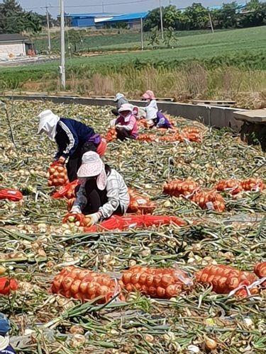 양파를 수확하고 있는 모습.