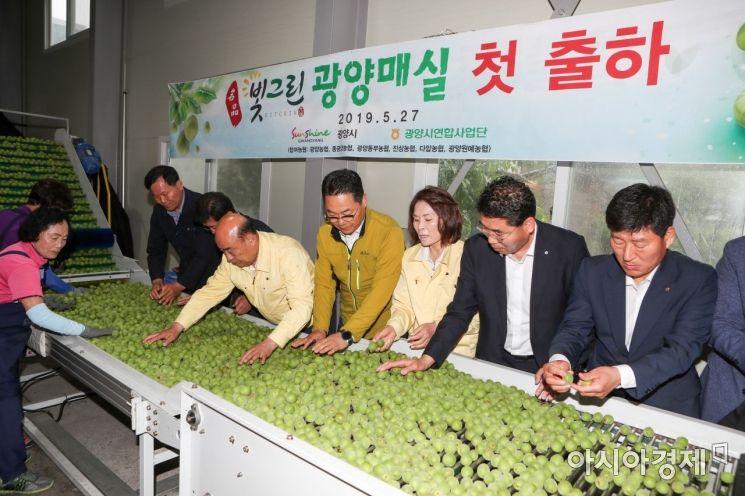 27일 전남 광양동부농협에서 올해 첫 광양매실을 출하하고 있다. (사진=광양시 제공)