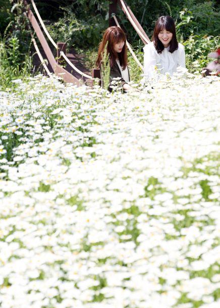 [포토] '꽃의 도시 함평' 샤스타데이지 만개