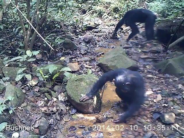 [영상] 게 잡아먹는 침팬지 처음 확인