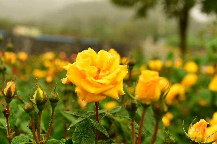 [포토] '노란 장미'의 향기로운 자태