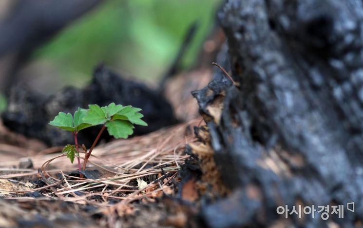 [포토] 화마가 휩쓸고간 검은 숲, 희망의 싹이 움튼다