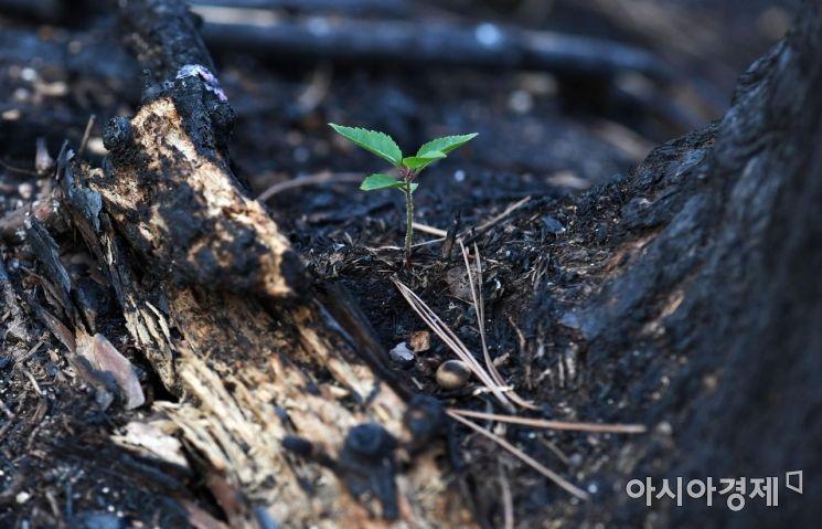 [포토] 화마가 휩쓴 검은 잿더미 속 피어난 새싹