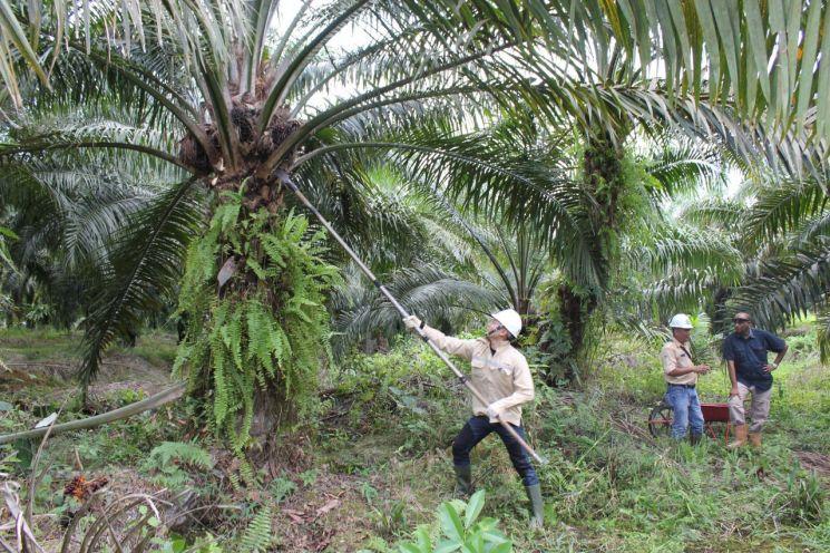 LG상사 해외 투자 사업장 연수에 참가한 사원들이 인도네시아 팜(Palm) 농장에서 팜나무에 열린 열매를 직접 수확해 보고 있다.