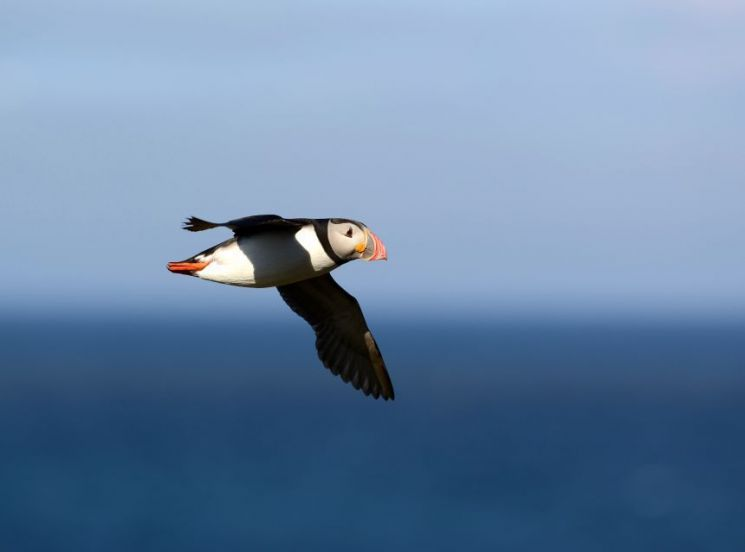 캐나다 펀디 만에서 바다 위를 비행하고 있는 퍼핀(바다오리)의 모습. [사진=옥스퍼드대]