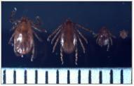 작은소피참진드기 (암컷, 수컷, 약충, 유충)